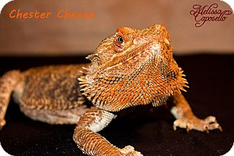 Lizard for Sale in Burlseon, Texas - Chester Cheeto