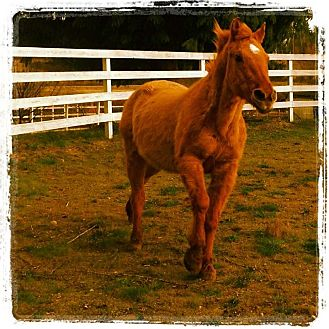 Quarterhorse Mix for Sale in Silverdale, Washington - BENJAMIN (Gentle Ben)