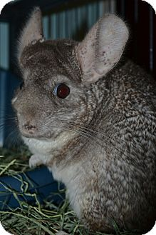 Chinchilla for adoption in Selden, New York - Pandora
