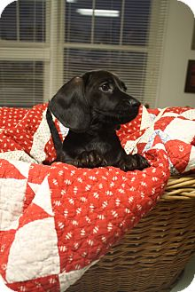 Dachshund Mix Puppy for Sale in Marietta, Georgia - Frank