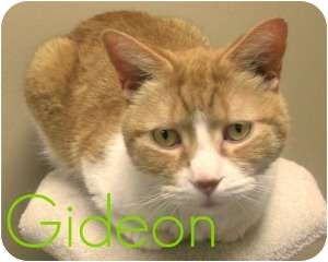 Domestic Shorthair Cat for adoption in Richmond Hill, Ontario - Gideon