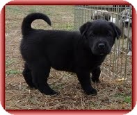 Labrador Retriever/Bearded Collie Mix Puppy for Sale in Allentown, Pennsylvania - Lassie Bear