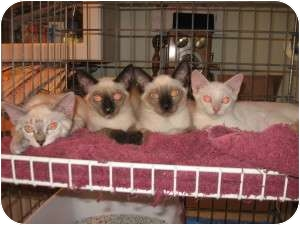 Siamese Cat for Sale in Ft. Lauderdale, Florida - Cleopatra