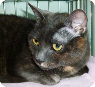 Domestic Shorthair Cat for adoption in Carmel, New York - Guppy