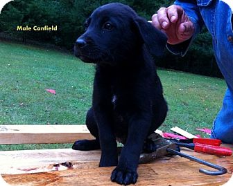 Retriever (Unknown Type) Mix Puppy for Sale in Danbury, Connecticut - Canfield aka Beau