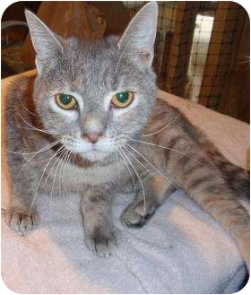 Domestic Shorthair Cat for adoption in Waldorf, Maryland - Kristy