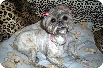 Shih Tzu Dog for Sale in Los Angeles, California - HEATHER