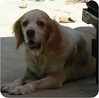 Cocker Spaniel Dog for adption in Chapin, South Carolina - Bailey 2