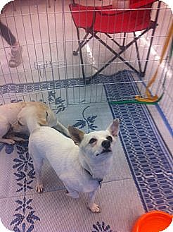 Chihuahua/Corgi Mix Dog for adption in Chandler, Arizona - Dillinger