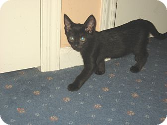 Domestic Shorthair Kitten for Sale in Hamilton, New Jersey - LICORICE
