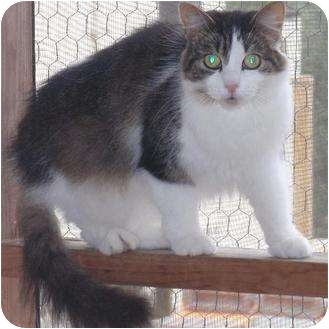Domestic Mediumhair Cat for adoption in Waldorf, Maryland - Svana
