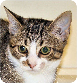 Domestic Shorthair Kitten for adoption in Morganton, North Carolina - Emma