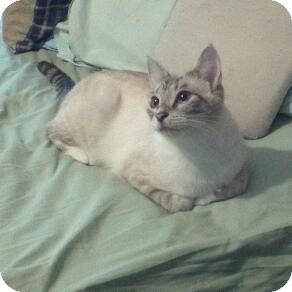 Siamese Cat for Sale in Fairborn, Ohio - Lynxie