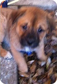 Shepherd (Unknown Type) Mix Puppy for Sale in Gainesville, Florida - Xena