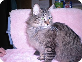 Maine Coon Cat for Sale in New Castle, Pennsylvania -
