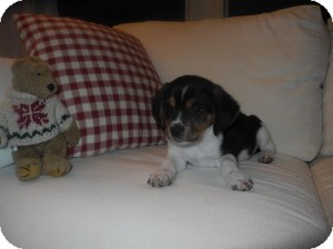 Beagle Puppy for Sale in Marlton, New Jersey - Baby Jessie