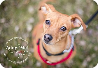Miniature Pinscher Mix Dog for adption in Myersville, Maryland - Sugar