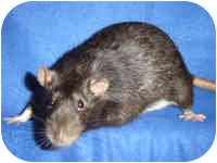 Rat for Sale in Winner, South Dakota - Shadow