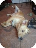 Labrador Retriever/Shepherd (Unknown Type) Mix Dog for adption in Russellville, Kentucky - Hank