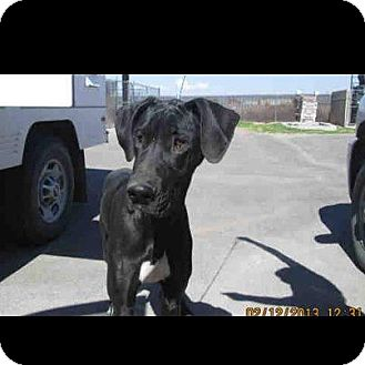 Great Dane Puppy for Sale in Phoenix, Arizona - Lucy Lu