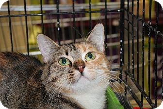 Domestic Shorthair Cat for Sale in santa monica, California - Katie