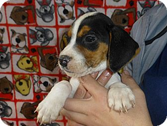 Beagle Mix Puppy for Sale in Oviedo, Florida - Jack