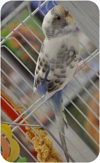 Budgie for Sale in Shawnee Mission, Kansas - Claus