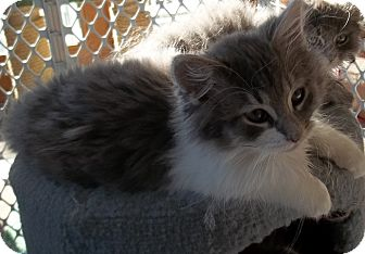 Domestic Longhair Kitten for Sale in Acme, Pennsylvania - Big Boy
