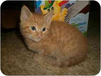Domestic Shorthair Kitten for adoption in Culver City, California - Jerry Springer