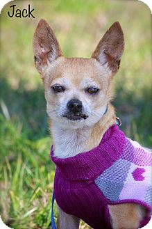 Chihuahua Mix Dog for Sale in Wilmington, Delaware - Jack