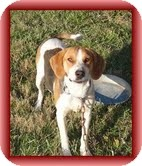 Treeing Walker Coonhound/Coonhound Mix Dog for adption in Allentown, Pennsylvania - Magnolia