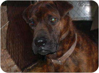 Shar Pei Mix Dog for adption in Brookville, Indiana - Taylor