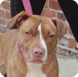 American Pit Bull Terrier Mix Dog for Sale in Brooklyn, New York - Melissa