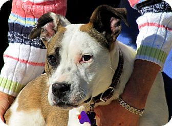 Shepherd (Unknown Type)/American Bulldog Mix Dog for Sale in Phoenix, Arizona - CANDY