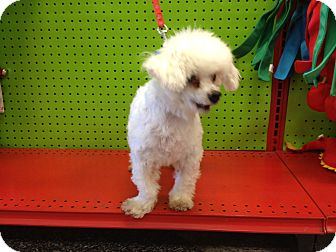 Maltese Dog for adption in Van Nuys, California - Happy
