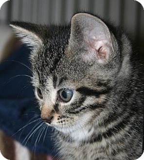 Domestic Shorthair Kitten for Sale in Plainville, Massachusetts - Wren