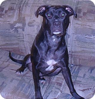 Labrador Retriever/Boxer Mix Dog for Sale in Laval, Quebec - Jacob