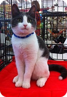 Domestic Shorthair Kitten for Sale in Sacramento, California - Angel L