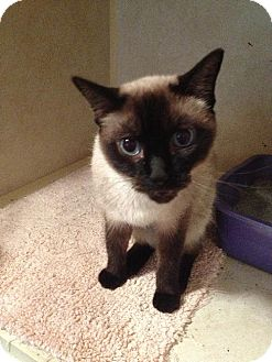 Siamese Cat for adoption in Arlington, Texas - Janie