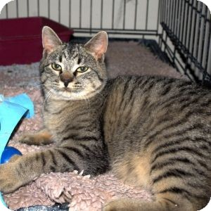 Domestic Shorthair Cat for Sale in Colorado Springs, Colorado - Niles