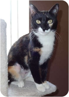 Calico Cat for Sale in Palmdale, California - Maddison