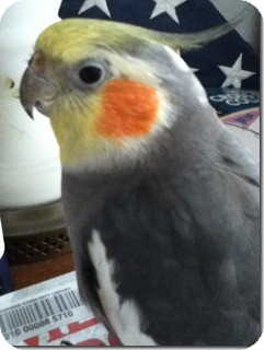 Cockatiel for Sale in Tampa, Florida - Gizzy