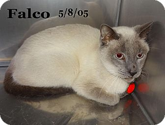 Siamese Cat for Sale in Bentonville, Arkansas - Falcoe
