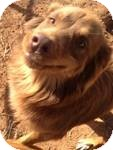 Australian Shepherd Mix Dog for Sale in Manchester, Connecticut - Lucy ADOPTION PENDING