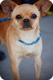 Chihuahua/Pug Mix Dog for Sale in Baton Rouge, Louisiana - Martini