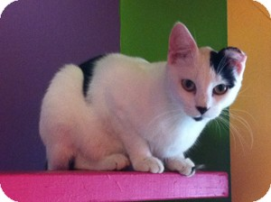 Domestic Shorthair Cat for adoption in Topeka, Kansas - Guido