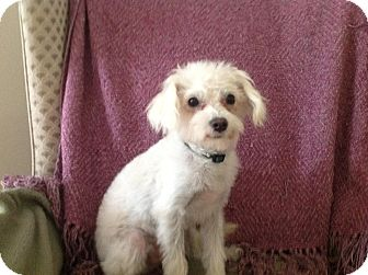 Maltese/Terrier (Unknown Type, Small) Mix Puppy for Sale in Studio City, California - Alfie