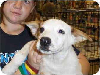 Cattle Dog Mix Puppy for adption in Fresno, California - Kipper