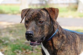 American Pit Bull Terrier Mix Dog for adption in Barrington, Rhode Island - Phoenix (JA)