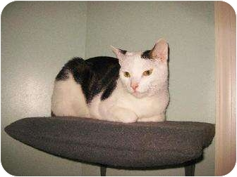 Domestic Shorthair Cat for adoption in Owings Mills, Maryland - Han